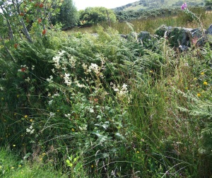 Meadowsweet in the hedgerow, 5 Aug 2009