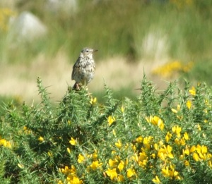 Meadow pipit, 5 Aug 2009