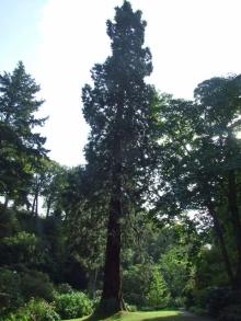 Sequoiadendron giganteun, 7 Oct 2009